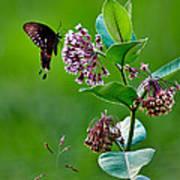 Spicebush Swallowtail  Art Print