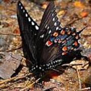 Spicebush Swallowtail Butterfly Preflight Art Print