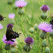 Spicebush Swallowtail Heaven Art Print