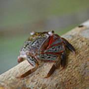 Spider Crab Art Print