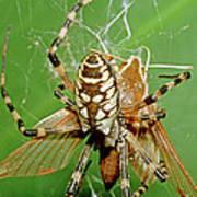 Spider Eating Moth Art Print