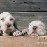 Spinone Puppies Art Print