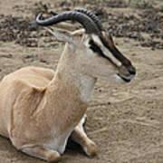 Spiral Horned Antelope Art Print