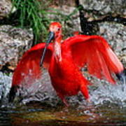 Splish Splash - Red Ibis Art Print