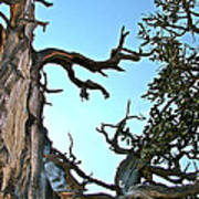Spooky Bristlecone Pine At Spectra Point On Ramparts Trail In Cedar Breaks National Monument-utah  Art Print