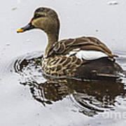 Spot-billed Duck  Art Print