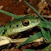 Spotted Bush Snake Philothamnus Semivariegatus Art Print