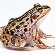Spotted Dart Frog Art Print