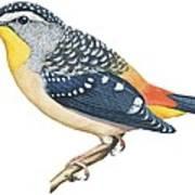 Spotted Diamondbird Art Print