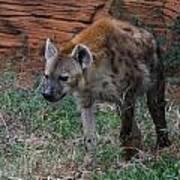 Spotted Hyena Art Print