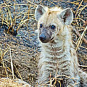 Spotted Hyena Pup In Kruger National Park-south Africa  Art Print