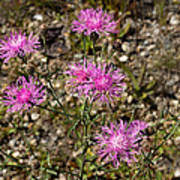 Spotted Knapweed Art Print