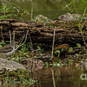 Spotted Sandpiper 2 Art Print