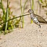 Spotted Sandpiper Pictures 45 Art Print
