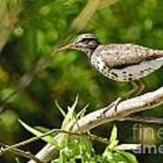 Spotted Sandpiper Pictures 48 Art Print