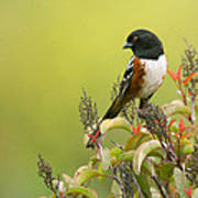Spotted Towhee Art Print