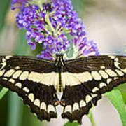 Spread Your Wings My Little Butterfly  Art Print