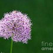 Spring Allium Art Print