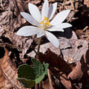 Spring Bloodroot Wildflower 2 Art Print