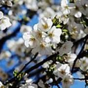 Spring Blossoms, Baltimore Art Print