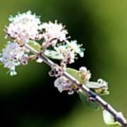 Spring Blossoms White 031015aa Art Print