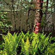 Spring Ferns Of The Blue Ridge 3 Ap Art Print