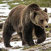 Spring Grizzly Bear Art Print