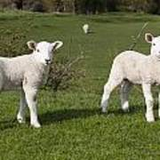 Spring Lambs Art Print