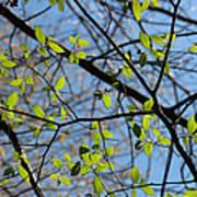 Spring Leaves 2 Art Print