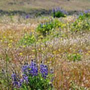 Spring Lupines And Cheatgrass Art Print