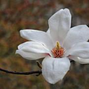 Spring Magnolia Art Print