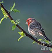 Song Bird In Spring Art Print