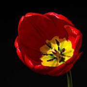 Spring Tulip 1 Art Print