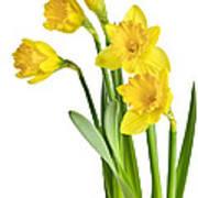 Spring Yellow Daffodils Art Print