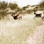 Springbok Running Art Print