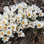 Springtime Abundance - A Bouquet Of Pure White Crocuses Art Print