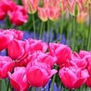 Springtime Blooms In Holland Art Print