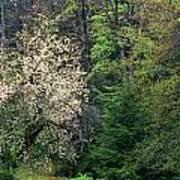 Springtime Forest Blossoms  Art Print
