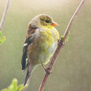 Springtime Goldfinch Art Print