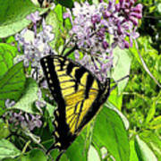 Springtime Moments- The Butterfly And The Lilac  Art Print