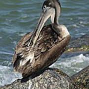 Sprucing Pelican Art Print