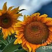 Squamish Sunflowers Art Print