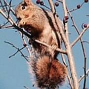 Squirrel Berry Art Print