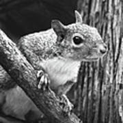 Squirrel Black And White Art Print