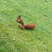 Squirrel Eating Nuts Art Print