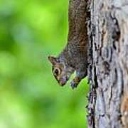 Squirrel In A Tree Art Print