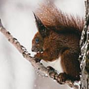 Squirrel In Winter Art Print