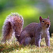 Squirrel On Grass Art Print