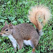 Squirrel On The Ground Art Print