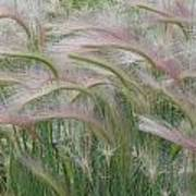 Squirrel Tail Grass In The Wind Art Print